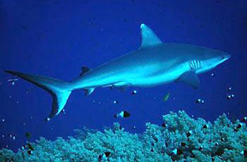 Žralok šedý útesový