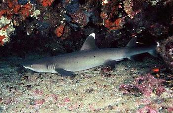 Žralok bělocípý útesový