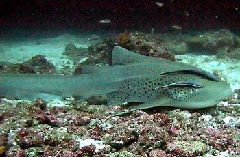 Žralok zebrovitý
