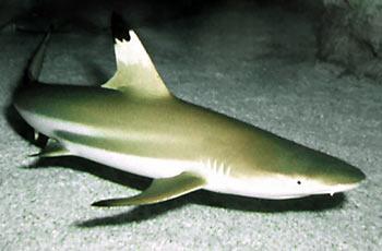 Žralok černoploutvý