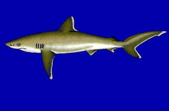 Žralok stříbrocípý